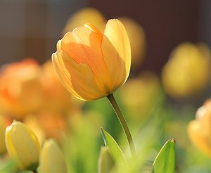 Nutritional Therapy. Spring Tulip